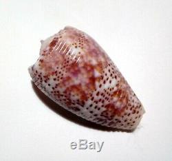Shell CONUS ADAMSONII Cook islands 36,2 mm # excellent quality