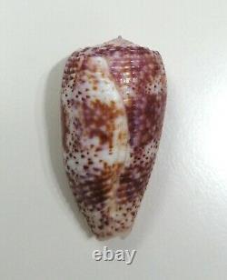 Shell CONUS ADAMSONII Cook islands 47,1 mm # GIANT LIVE TAKEN